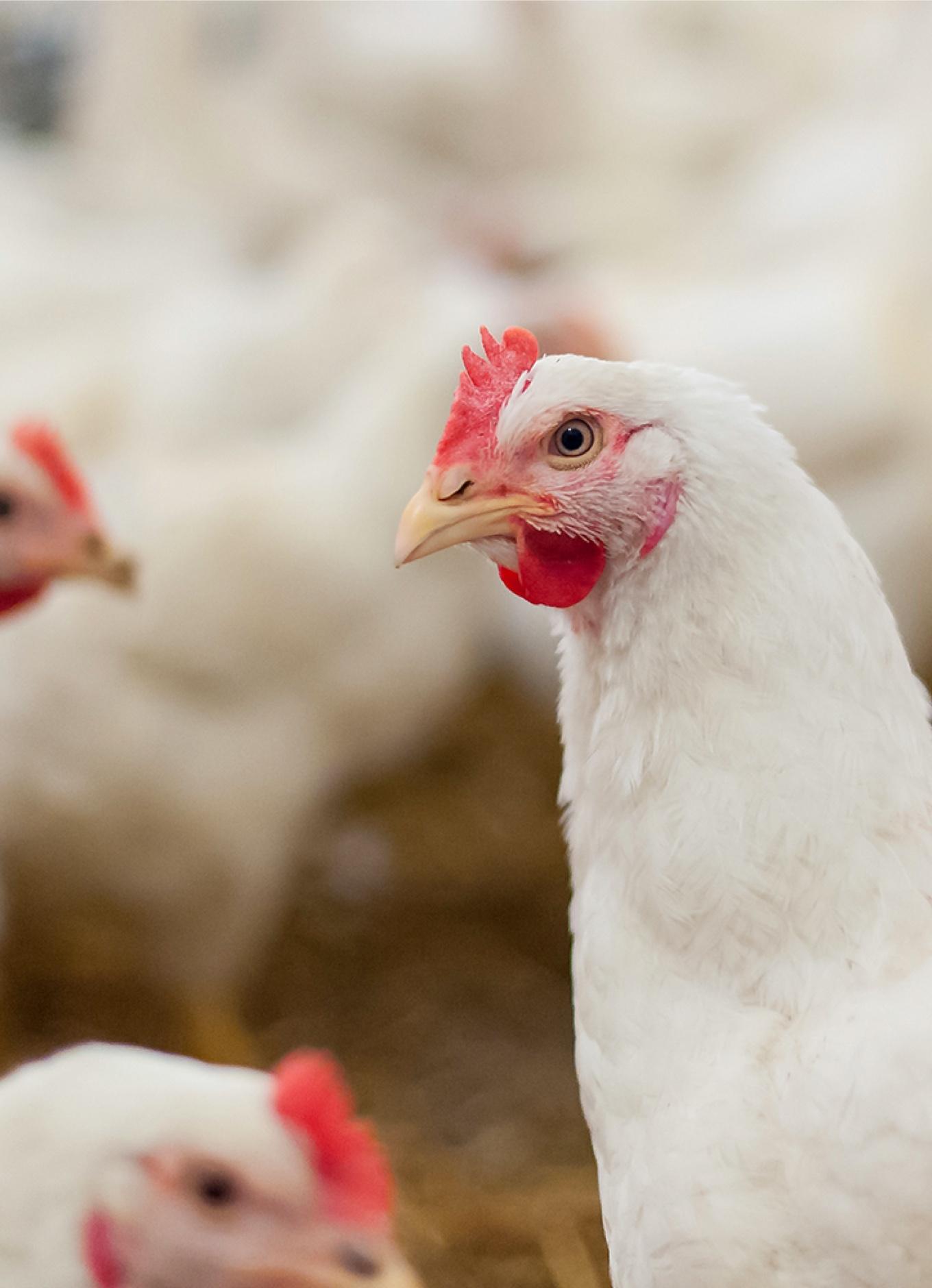 Un groupe de poulets en santé